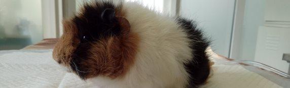 Мочекаменная болезнь у морской свинки (случай из практики)